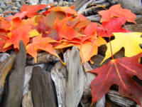 Autumn Leaves art print driftwood Colorful Leaf