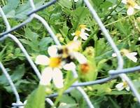 Forage Little Bumblebee