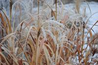 winter zebra grass