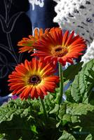 Gerbera on White and Blue