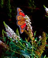 Confident Monarch Butterfly
