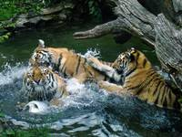 Tiger - Aquatic Anarchy