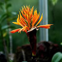 Flameorchid