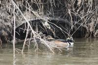Hooded Merganser Hiding in Den
