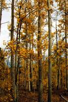 Fall Aspen Trees in Colorado