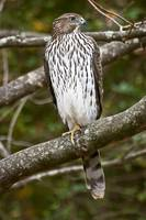 Young Cooper's Hawk, Perched On One Leg Waiting