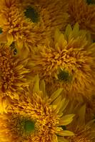 Frilly Double Sunflowers