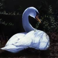 Nesting Swan by Roger Dullinger