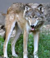 International Wolf Center