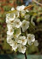 White Pear tree blossoms