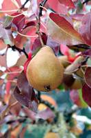 Early Autumn Pear