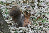 Squirrel with a mouth full of leaves