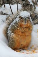Squirrel covered with snow