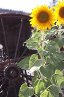 Antique Wheel and Sunflower