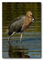 Reddish Egret Catches One
