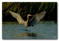 Reddish Egret In Morning Light
