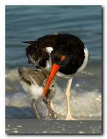 American Oyster Catcher Feeding