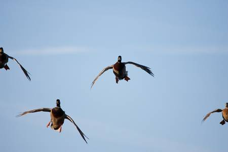 Cupped Wings - Incoming Mallards