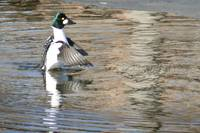 Common Goldeneye 1