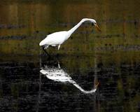 Egret with Reflection