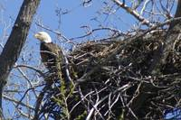 Bald Eagle Sitting On Nest