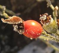 Iced Rosehips