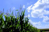 Blue Sky Over the Corn