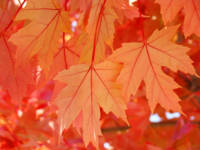 Leaves art print Orange Autumn Tree Leaves