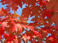Red Autumn Leaves art print Trees