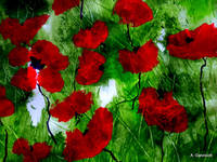 Field poppies 2