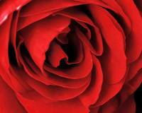 Big Red Rose Petals