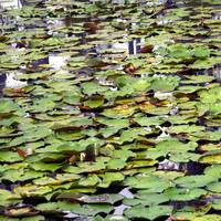 Lily Pads Cypress Swamp Photo by Ginette