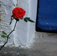 Red Rose at Blue Door