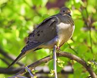Mr. Mourning Dove