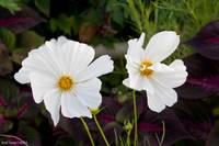 White Cosmos Flower