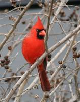 Cardinal (bird) Close up