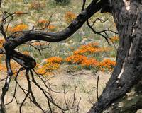 California Poppies through Burnt Tree