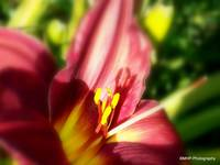 Red Velvet Dream Lily