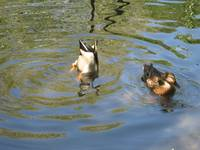Wild Ducks at Washington D.C. National Zoo