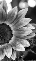 BW Macro Sunflower 5631