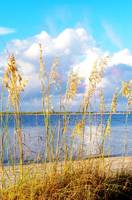 Indian Pass_St. Vincent Island Sea Oats V