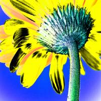 Gerbera Pop Yellow Art Prints & Posters by Carolyn Gallo