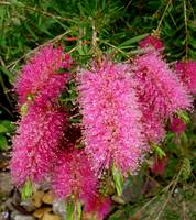 Pink Bottle Brush, Australia
