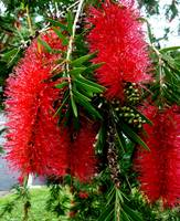 Lovely red Bottle Brush, Australia