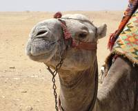 Camel at Giza
