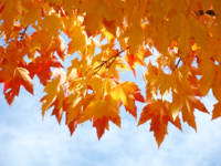 Autumn Sky Bright Yellow Orange Fall Leaves