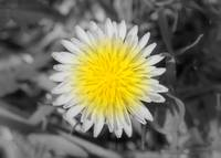 Dandelion Close-Up