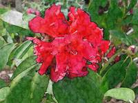 Rhododendron 'The Honorable Jean Marie de Montague