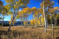 Quaking Aspen near Tyler's Corner, Casper Mountain