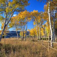 """Quaking Aspen near Tylers Corner, Casper Mountain"" by SamSherman"